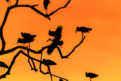 Silhouette of many asian open billed stork birds on a treetop Royalty Free Stock Photography
