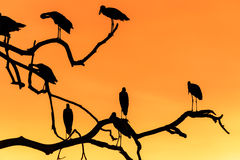 Silhouette of many asian open billed stork birds on a treetop Stock Image