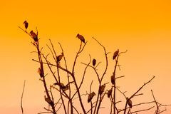 Silhouette of many birds on a treetop Royalty Free Stock Photo