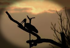 Silhouette of a marabou stork against a sunset background. Silhouette of a Marabou Stork Leptoptilos crumenifer resting on a branch at sunset, with an orange Royalty Free Stock Image