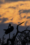 Silhouette of marabou stork on dead tree at sunset Stock Photography