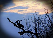 Silhouette of a marabou stork perched in a skeletal tree at dusk with a vignette edge, south luangwa national park, zambia. Maribou Storks resting on a tree with Royalty Free Stock Images