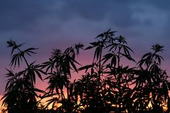 Silhouette of marijuana bushes on a background of bright red sunset. royalty free stock image