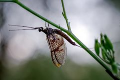 Silhouette of a Mayfly by the River Thames, in the Chiltern Valley stock photo