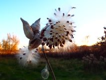 Silhouette of milkweed pod and seeds at golden hour. Closeup of naturally beautiful silhouette of dried milkweed pod and seeds at dusk during golden hour Royalty Free Stock Image