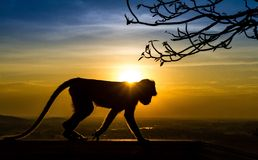 Silhouette of a monkey. In the sunset Stock Photo