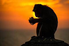 Silhouette of a monkey. In sunset stock photos