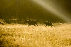 Silhouette of moose Stock Photography