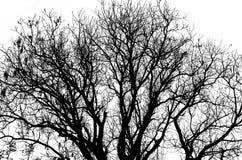 Silhouette morte d'arbre sans feuilles d'isolement sur le blanc Images stock