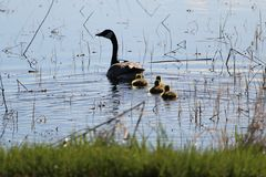 Silhouette of a mother Canadian Goose and her goslings.  stock photography