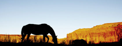 Silhouette of mustang horse eating grass Stock Images