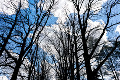 Silhouette of naked trees oт blue sky background Royalty Free Stock Images