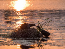 Silhouette of nesting Coots Fulica atra at sunset Stock Photos