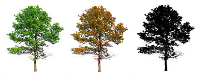 Silhouette  oak Royalty Free Stock Images