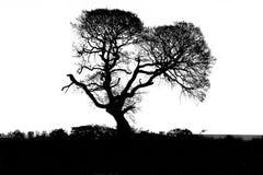 Silhouette of oak tree Stock Image