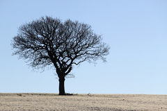 Silhouette of Oak Tree in Winter Stock Images