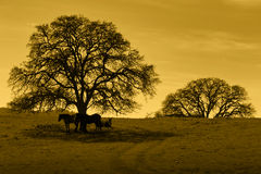 Silhouette of Oak Trees and Horses Stock Image