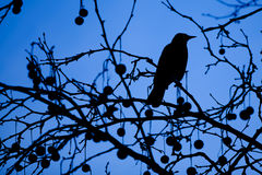 Silhouette Of A Blackbird Royalty Free Stock Photography