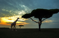 Free Silhouette Of African Safari Scene Stock Image - 85196341