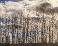 Silhouette Of Birch Trees In A Row In The Winter Stock Photo