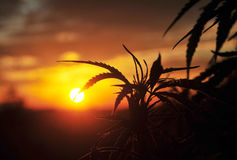 Free Silhouette Of Cannabis Plant At Sunrise Royalty Free Stock Images - 76092039