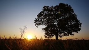 Silhouette of old maple  against  autumnal sunrise stock footage
