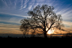 Silhouette of an old oak Royalty Free Stock Photo