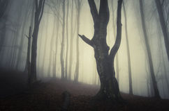 Silhouette of old tree in dark mysterious forest with fog on Halloween Stock Image