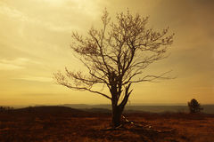Silhouette of old tree on a hill. Toned Stock Images