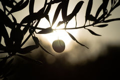Silhouette olive fruit Stock Image