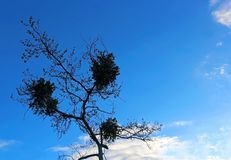 Silhouette of Tree under blue sky. The silhouette of one tree under blue sky at Mission Trails regional park, San Diego, California Stock Photography