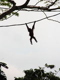 Silhouette of Orangutan on vine Royalty Free Stock Photos
