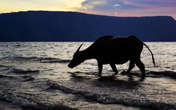 Silhouette ox cow walking on the sea shore beach washing its feet with ocean water. Royalty Free Stock Images