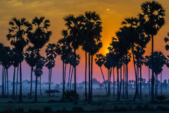 Silhouette of paddy and sugar palm sunset Royalty Free Stock Photography