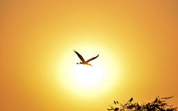 Silhouette of Painted Stork flying against the setting Sun Royalty Free Stock Photos