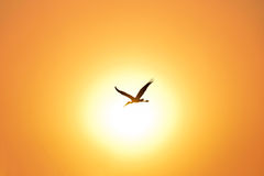 Silhouette of Painted Stork flying against the setting Sun. Silhouette of Painted Stork flying against the beautiful orange setting Sun Royalty Free Stock Photography