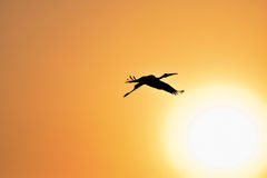 Silhouette of Painted Stork flying against the setting Sun. In a warm October evening Royalty Free Stock Image