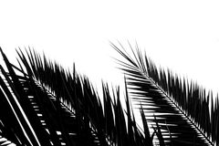 Silhouette of palm coconut leaf isolated on white background. For backdrop stock photo