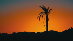 Silhouette of Palm Tree at Sunset. Tropical Palm Tree at Sunset. One long silhouette of palm trees on a background of red and orange sunset sky and the outlines stock video