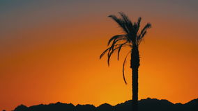 Silhouette of Palm Tree at Sunset. Tropical Palm Tree at Sunset. One long silhouette of palm trees on a background of red and orange sunset sky and the outlines stock video footage