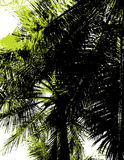 Silhouette of a palm tree. Vec Royalty Free Stock Images