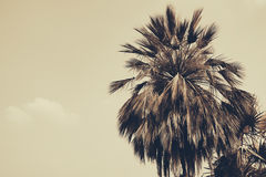 Silhouette palm tree in vintage filter background Royalty Free Stock Images