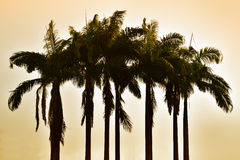 Silhouette palm tree in vintage filter background Stock Image