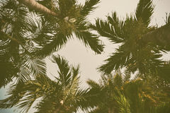 Silhouette palm tree in vintage filter background Royalty Free Stock Image