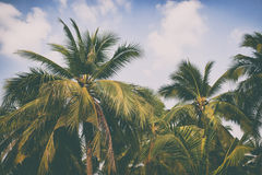 Silhouette palm tree in vintage filter background Stock Images