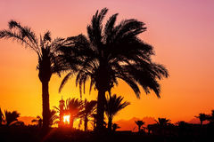 Silhouette of palm trees, mosque at sunset.  Royalty Free Stock Photos