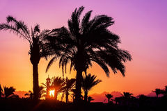Silhouette of palm trees, mosque at sunset.  Stock Image