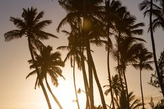 Silhouette of palm trees at sunset. On a hot evening on the beach Stock Photo