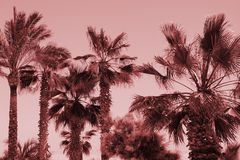 Silhouette of palm trees at sunset. Vintage pink filter. Summer tropical travel background stock image