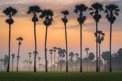 Silhouette of palmyra palm royalty free stock photos